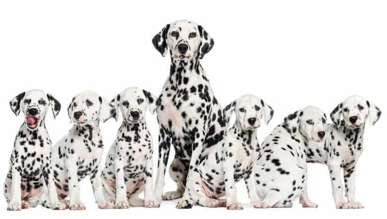 Mother Dalmatian with her puppies