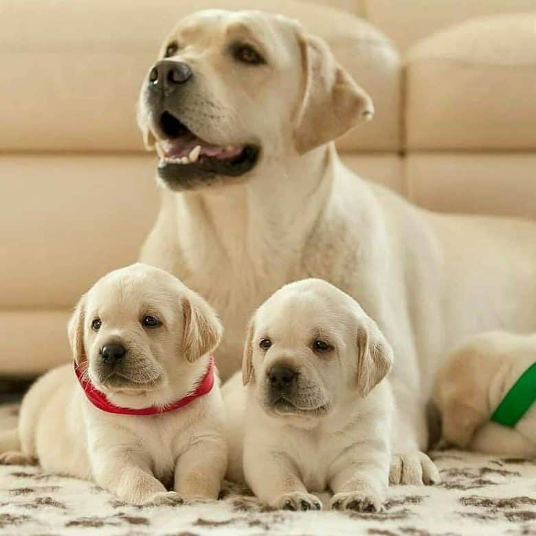 Mother Yellow Labrador and her puppies