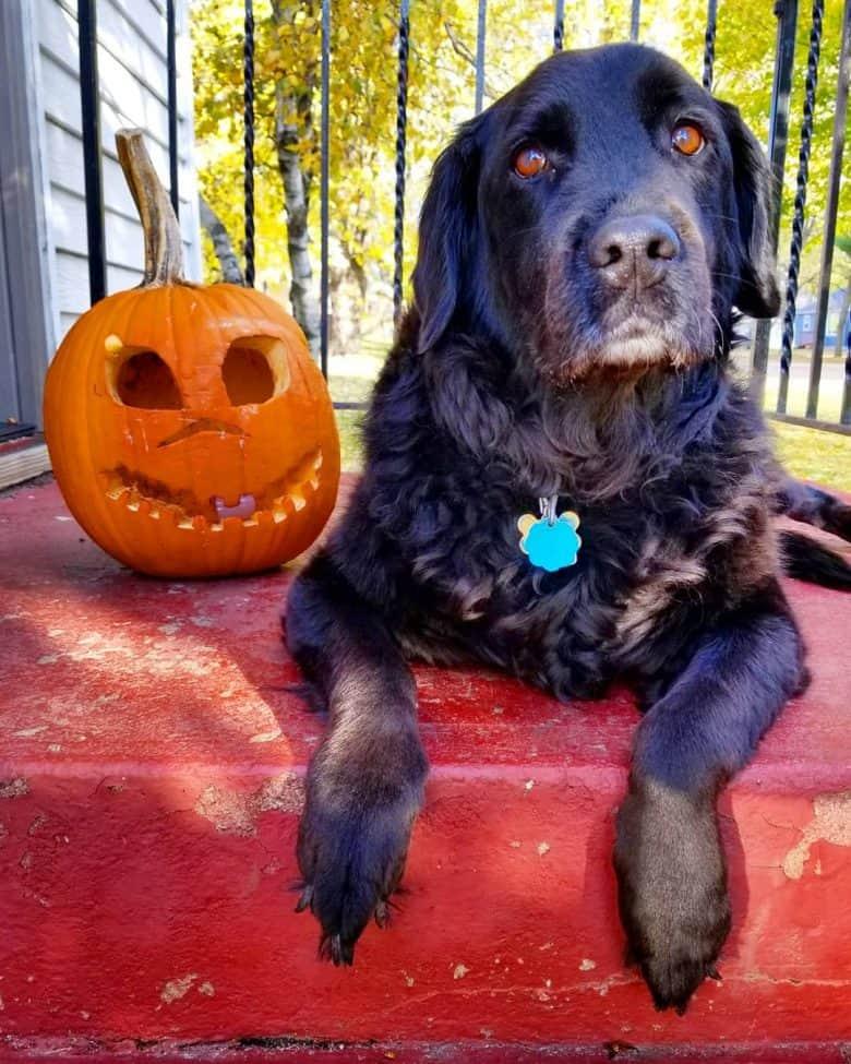 New Labralound mix dog beside the Jack-o'-lantern