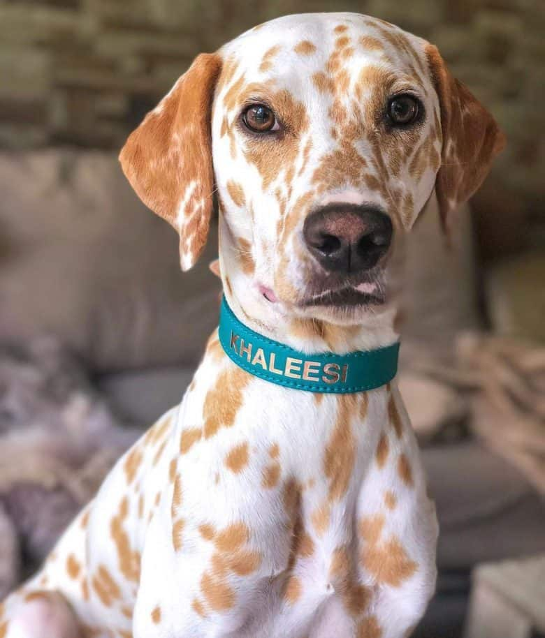 Orange-spotted Dalmatian dog