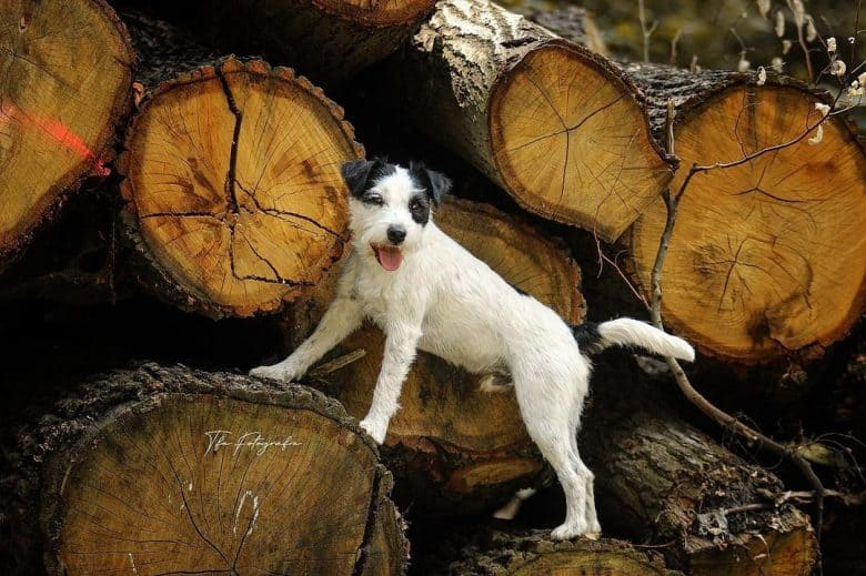 Parson Russell Terrier in the pile of logs