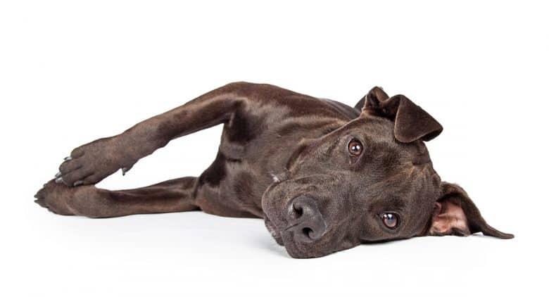 Portrait of a Labrabull mix dog laying