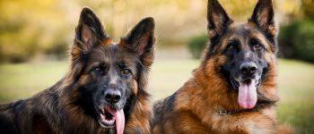Portrait of two German Shepherds