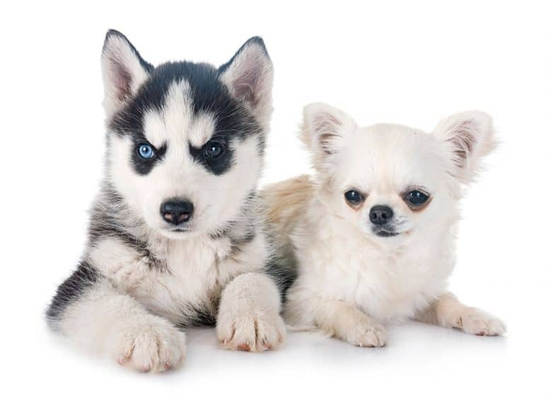 Siberian Husky puppy and Chihuahua
