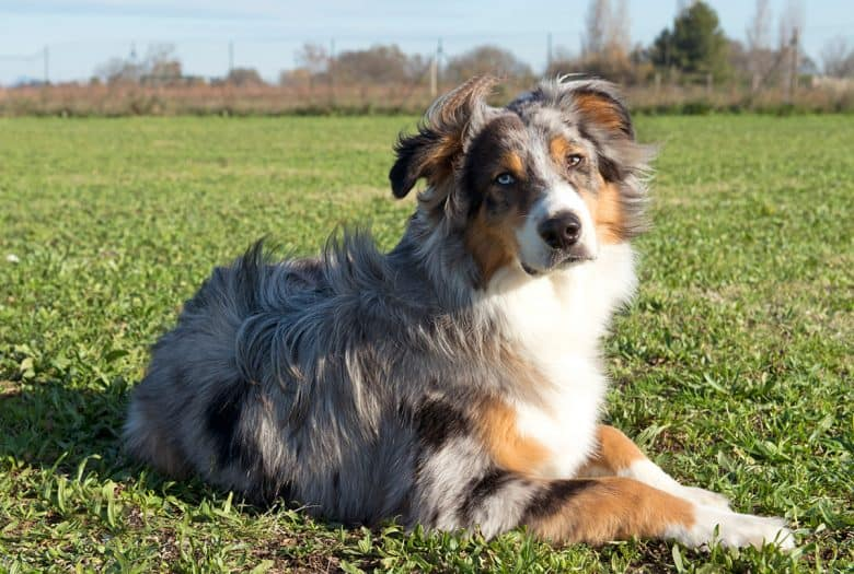 A Blue Merle Australian Shepherd dog in a field