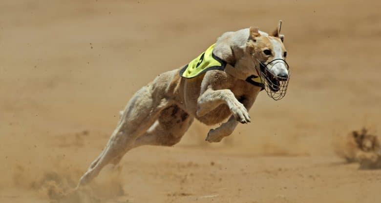 Racing Greyhound at full speed