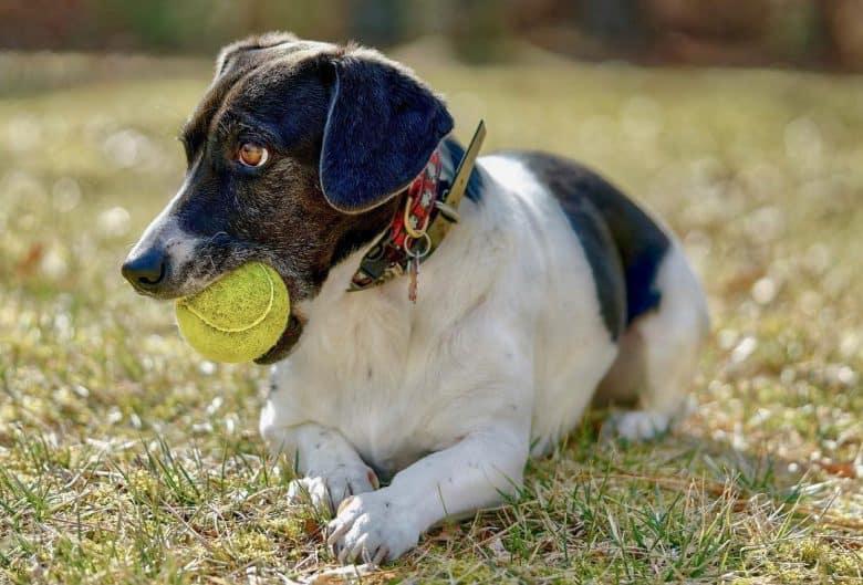 Rat Basset mix playing tennis ball