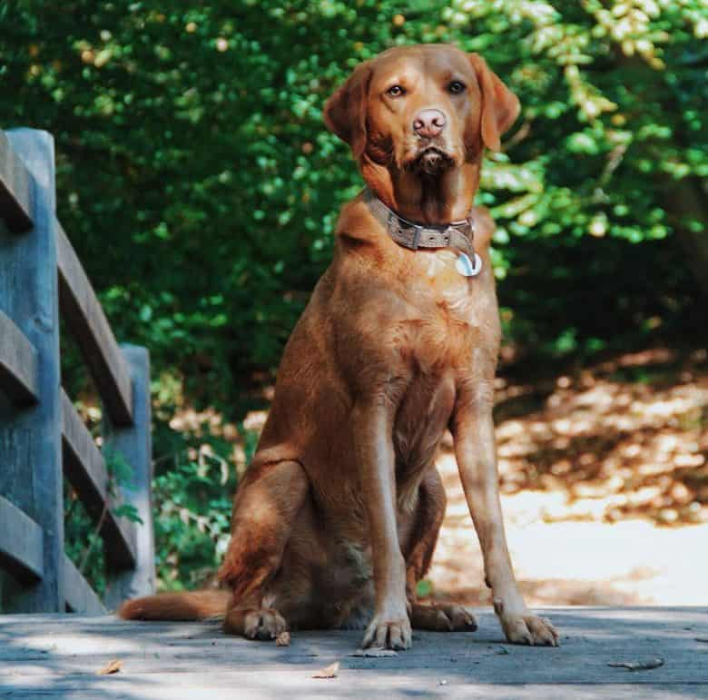 Red Labrador sitting outdoor