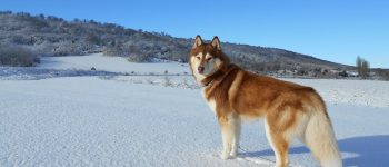 Red Siberian Husky dog