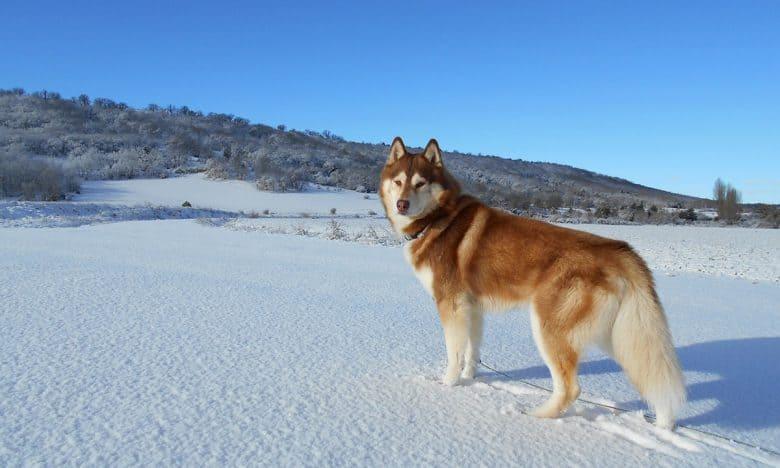 Red Siberian Husky dog