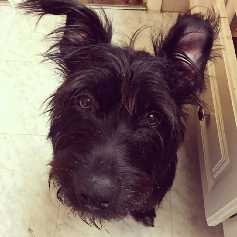 Scottish Terrier and Basset Hound mix
