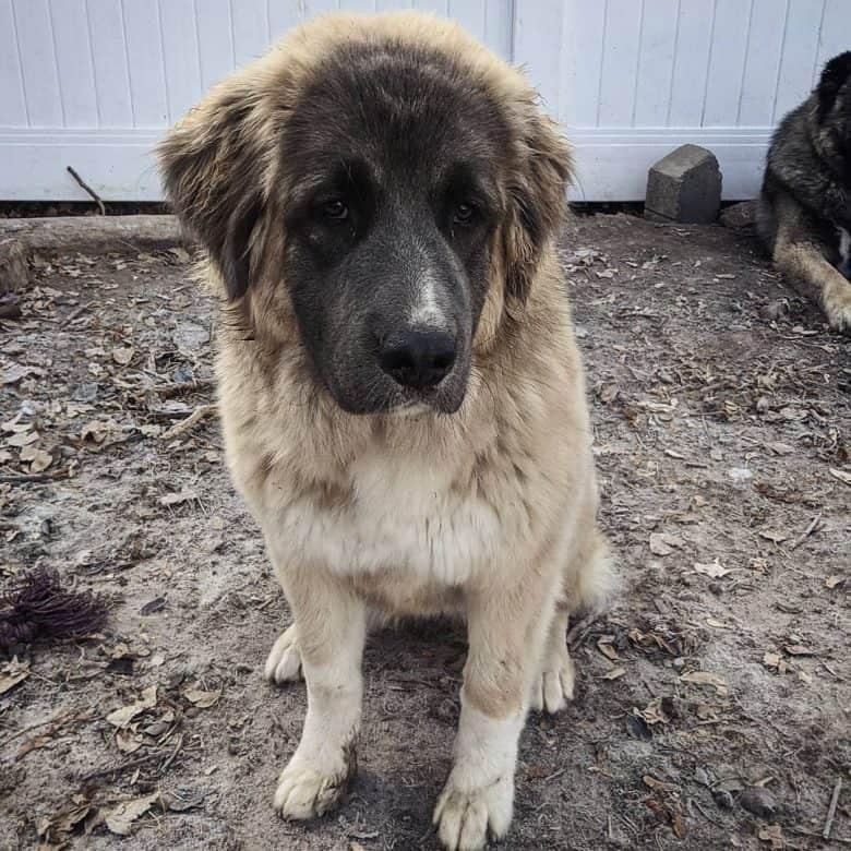 Serious Caucasian Mountain dog