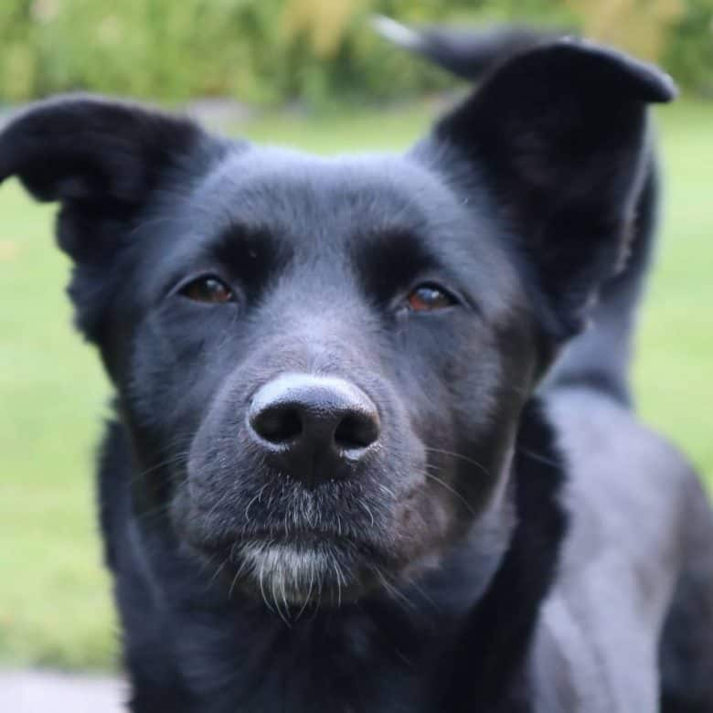 Black Shibador mix dog portrait