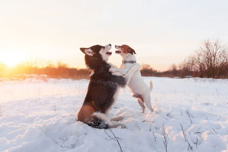 Siberian Husky and Jack Russel Terrier dogs