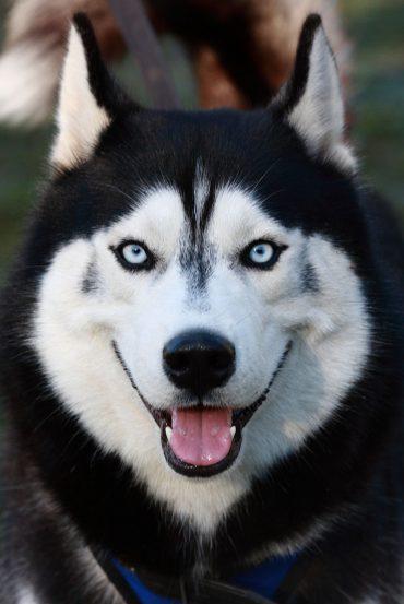 Siberian Husky close-up portrait