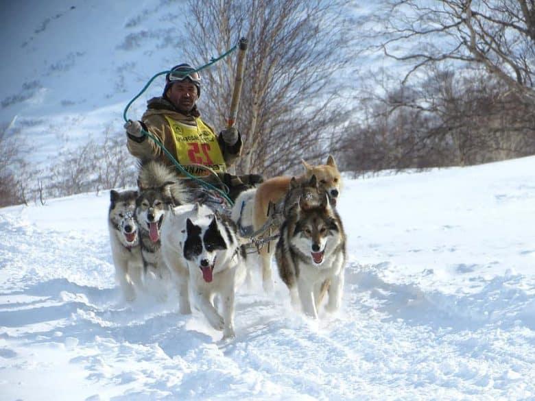 Siberian Husky dogs in sled race
