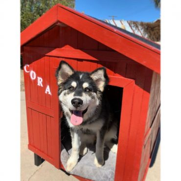 Siberian Husky in their red house