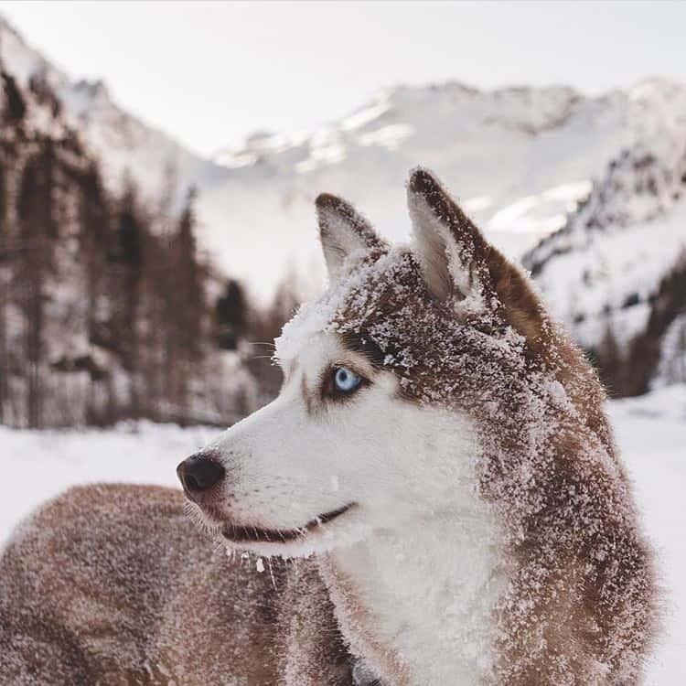 Siberian Husky with snow flakes on their head
