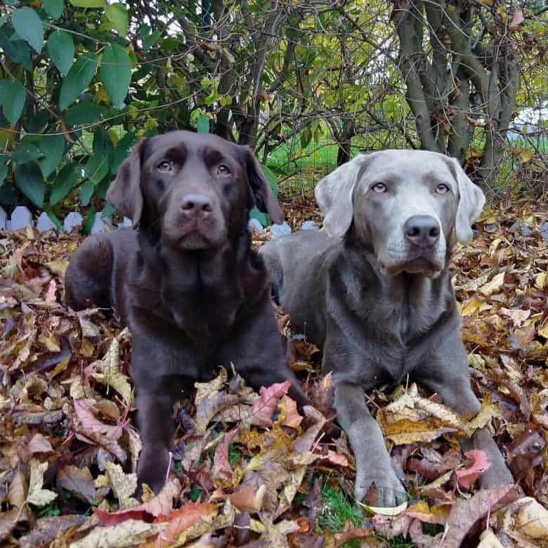 Chocolate and Silver Labrador dogs