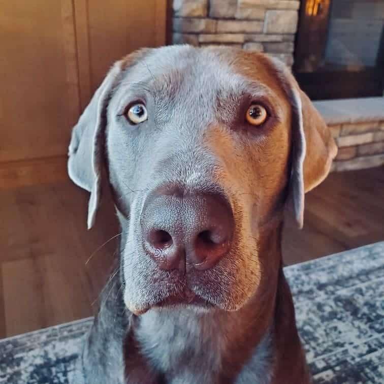 Silver Labrador close-up portrait