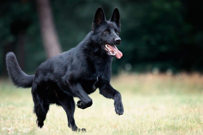 Solid Black German Shepherd