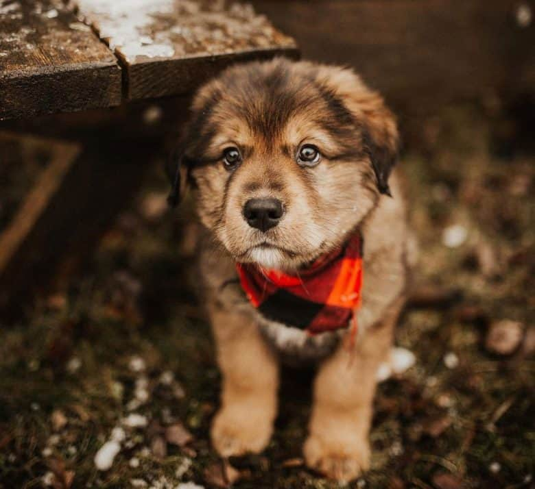 Golden Mountain dog puppy