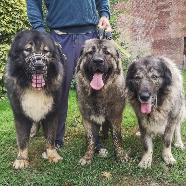 Three Caucasian Sheepdogs