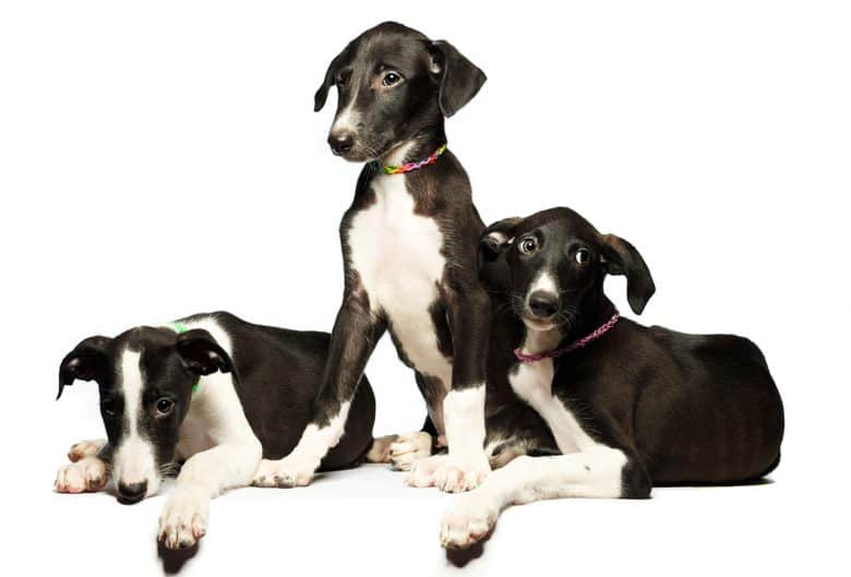 Three Greyhound puppies
