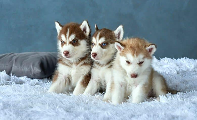 Three Red Siberian Husky puppies