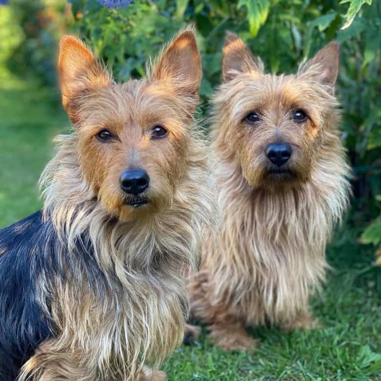 Two Australian Terrier portrait