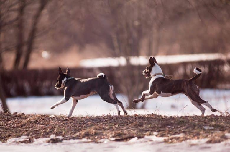 Two Basenji dogs playing