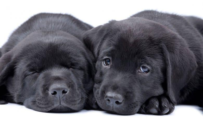Two Black Labrador Retriever puppies