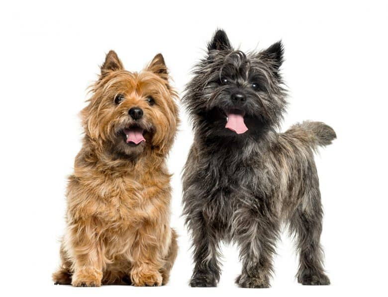 Two Cairn Terriers in different colors