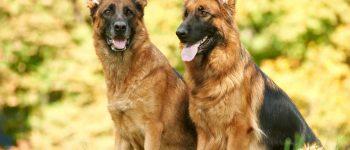 Black and tan German Shepherds
