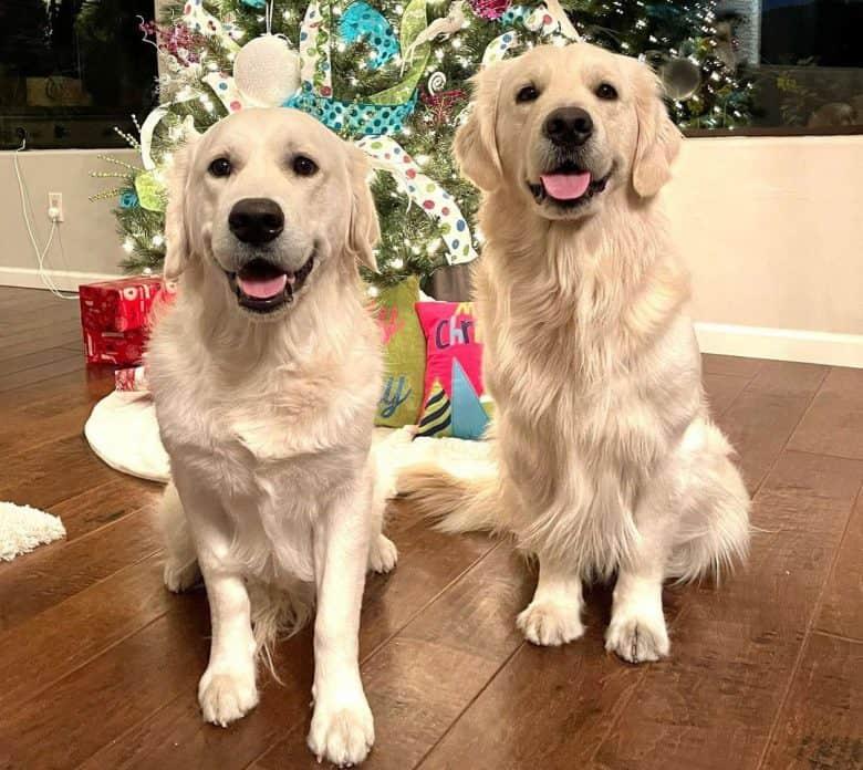 Two Golden Retrievers sitting near the Christmas tree