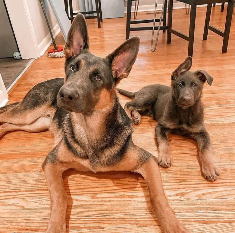 Two German Shepherds in liver and tan color