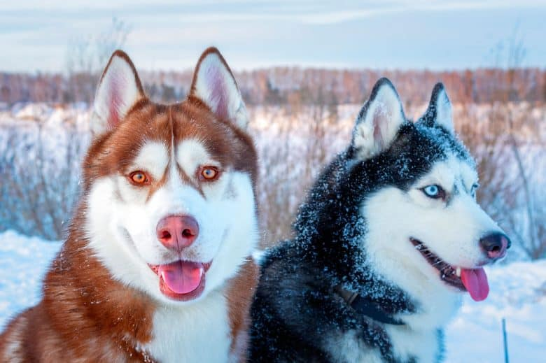 Two Siberian Huskies in the snow