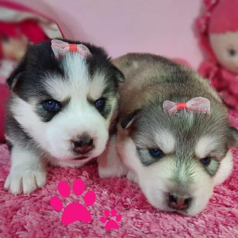 Two Siberian Husky puppies