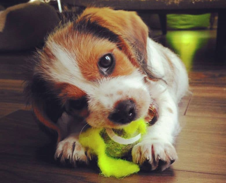 Young Tzu Basset mix chewing a ball
