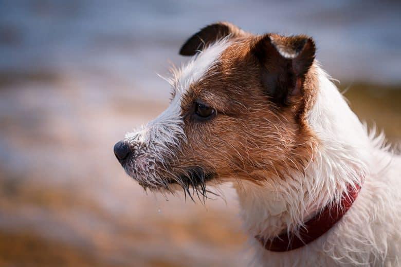 Wet Jack Russell Terrier