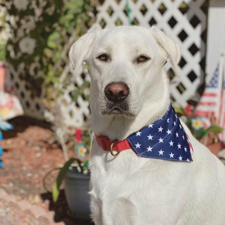 White Labrador in American flag scarf