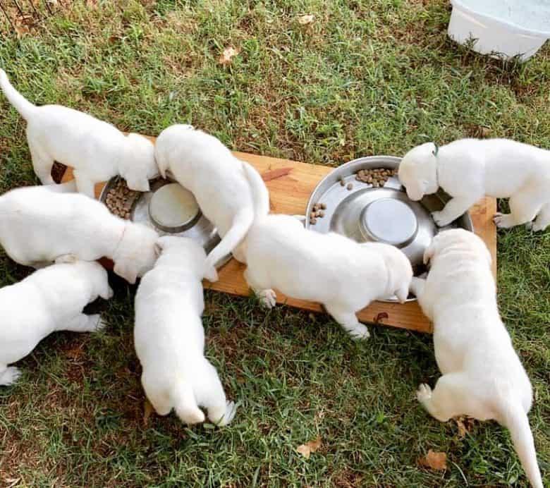 White Labrador puppies eating