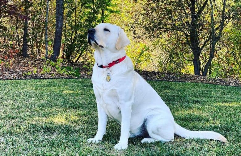White Labrador sitting in the nature