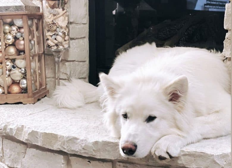 White Malamute chilling at the fireplace