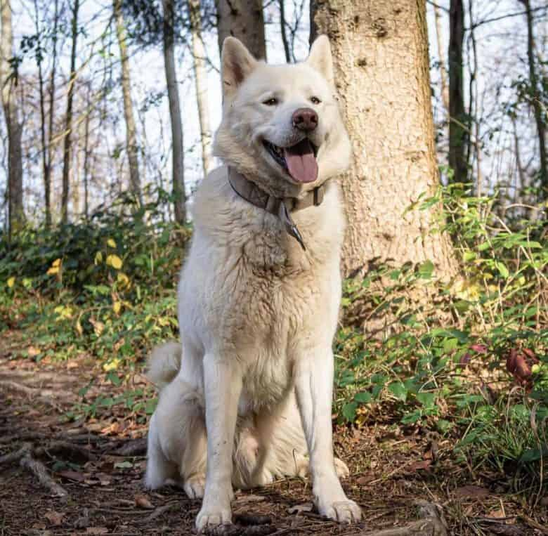 White Malamute in the woods