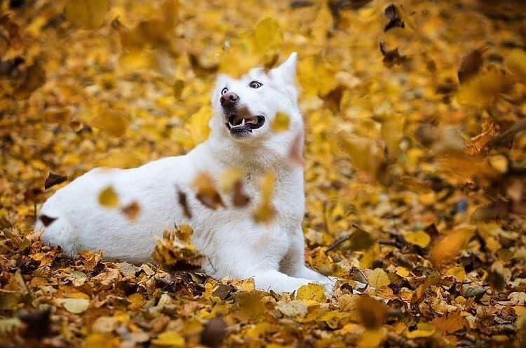 White Siberian Husky in autumn
