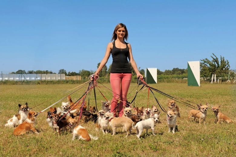 Woman with group of Chihuahuas