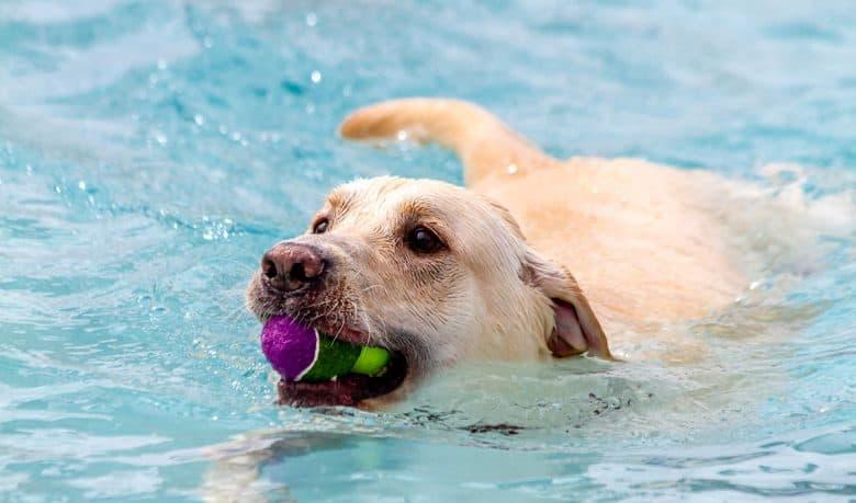 Yellow Labrador Retriever getting tennis ball in the pool