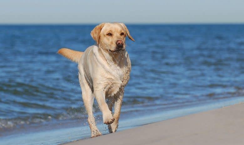 Yellow Labrador Retriever on the beach