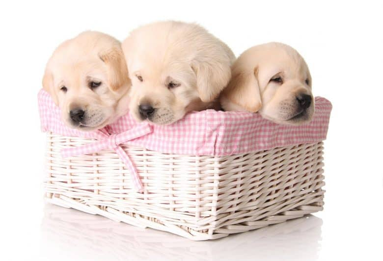 Yellow Labrador Retriever puppies in the basket